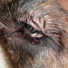 16. Øyelokk hos en sankt bernhardshund med makroblefaron. Øyelokkene er for lange og ruller innover (entropion). Dette fører til kronisk irritasjon og smerter