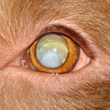 20. Kortikal katarakt. Hos denne hunden startet katarakten som bakre polkatarakt og utviklet seg til å angå hele linsen