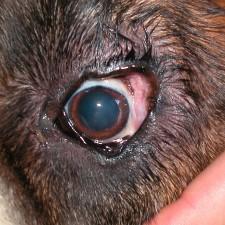 16b. Her holdes øyelokkene åpne. Øyelokkene er alt for lange i forhold til størrelsen på øyeeplet