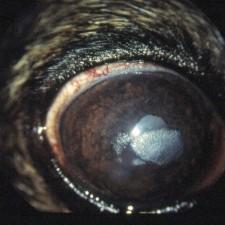 18. Corneadystrofi, en oval grå flekk i hornhinnen