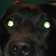23. Labrador retriever med PRA. Pupillene er utvidet og det skinner kraftig fra øynene på grunn av at netthinnene er tynnere enn normalt. Det er begynnende kataraktforandringer i linsene