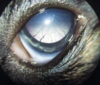 Persisterende pupilmembran (PPM)